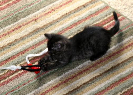 Jasmine Kitten