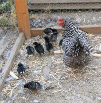 Chicks-9-09